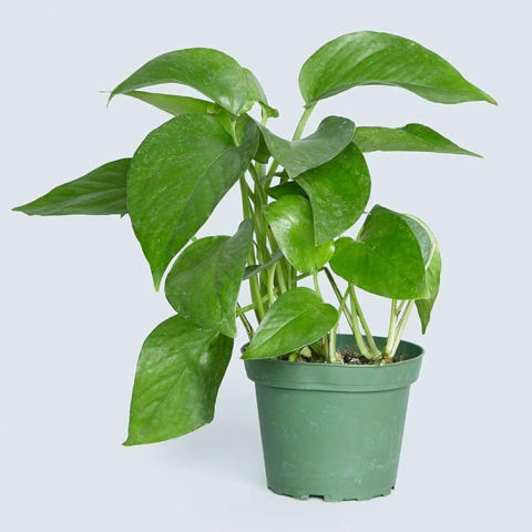 $7 BUY NOWPothos Plants Are Fast Growing, Resilient Greens That Are Fun To  Care