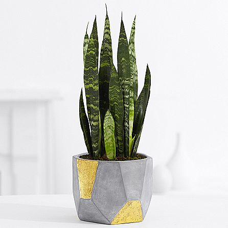proflowers-snake-plant Best Housewarming Plant on best sympathy plant, best food plant, best good luck plant, best type of gift to give as a plant, best coffee plant, best roses plant,